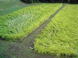 台風で倒れた稲.JPG